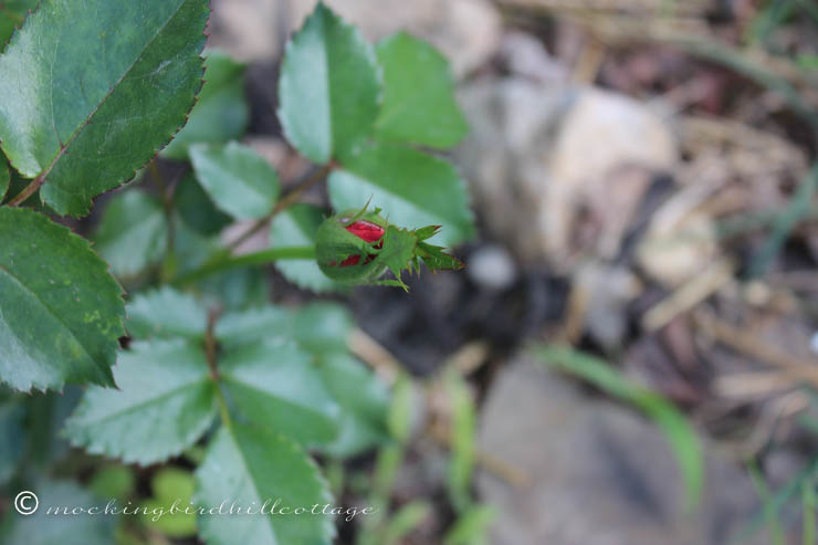 5-24 rose bud