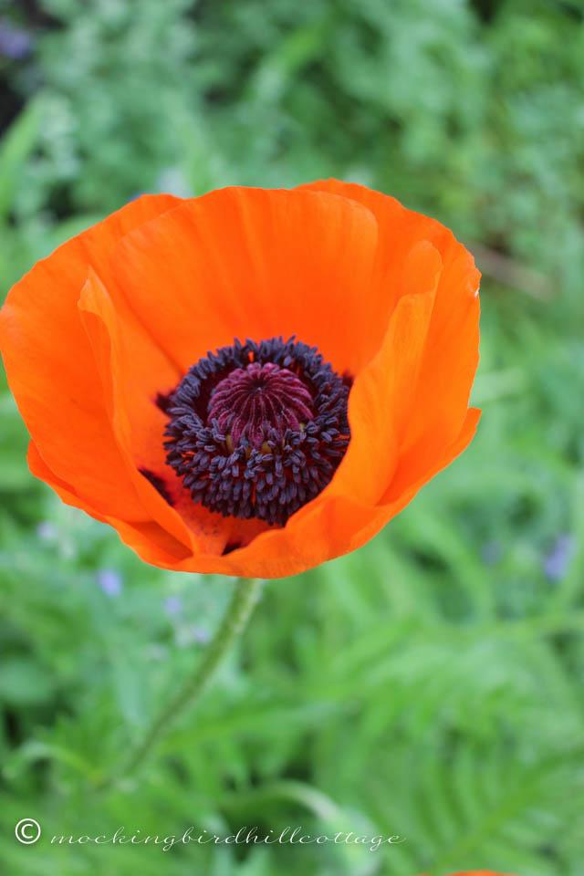 5-29 poppy