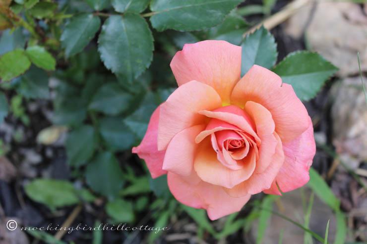 5-29 rose