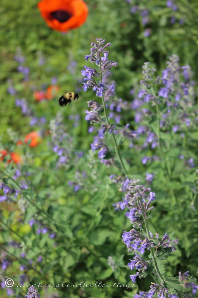 5-30 bee and catmint