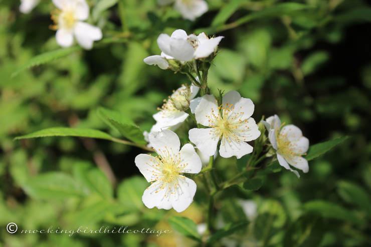 5-30 wild roses