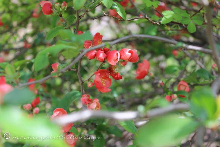 5-7 floweringquince 3