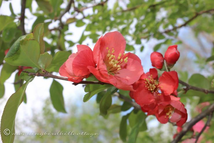 5-7 floweringquince1