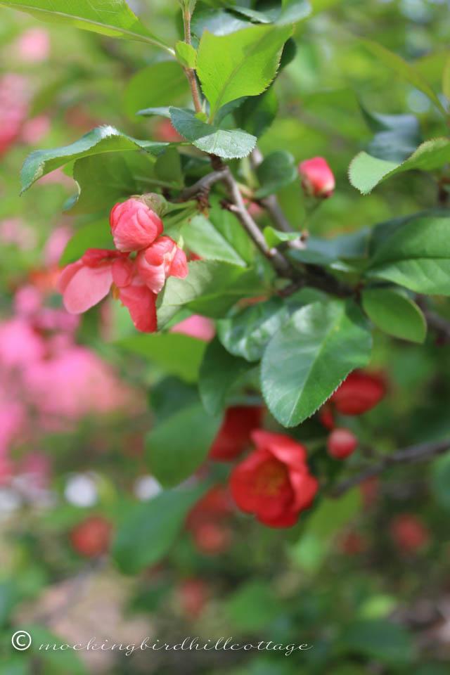 5-7 floweringquince2