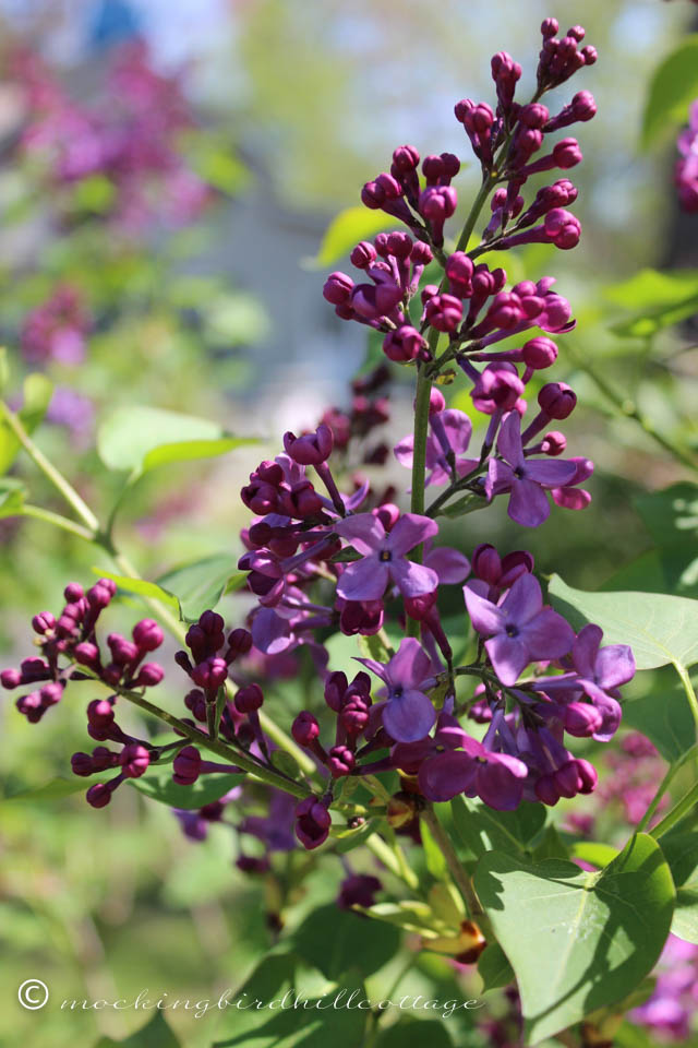 5-9 lilac 1
