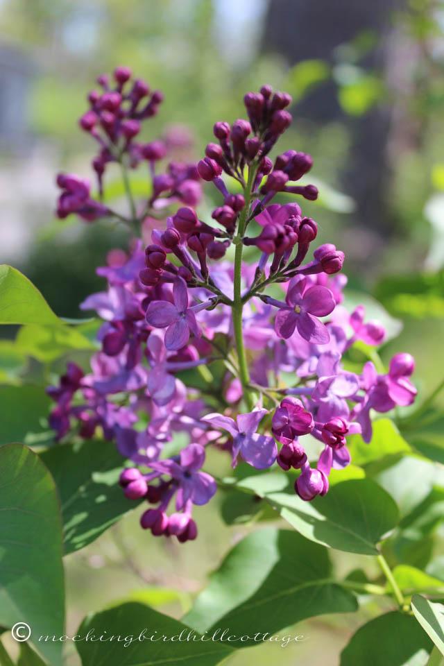 5-9 lilac 3