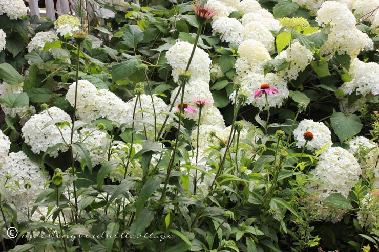 7-10 hydrangeasandconeflowers