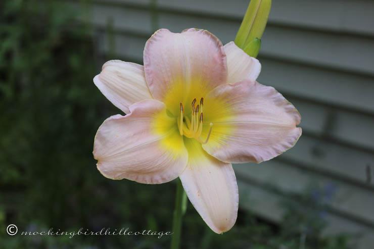 7-14 pinkish daylily