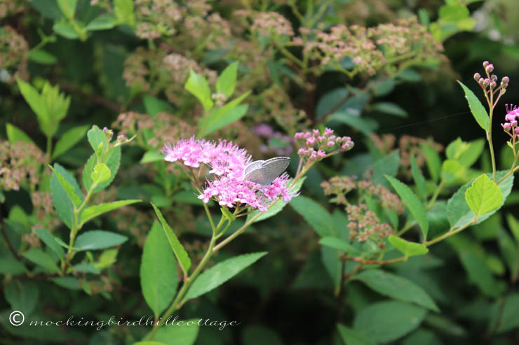 7-15 white moth on spirea 2