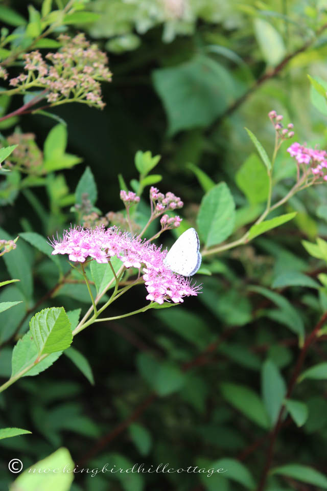7-15 white moth on spirea