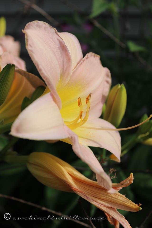 7-17 daylily