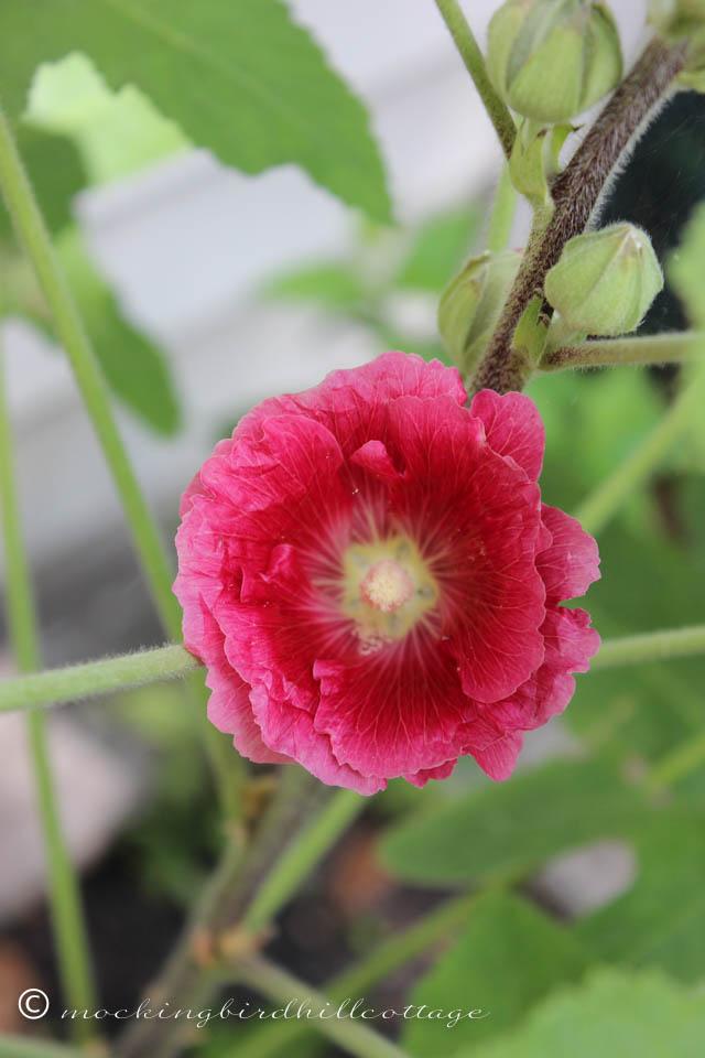 7-25 flower mallow