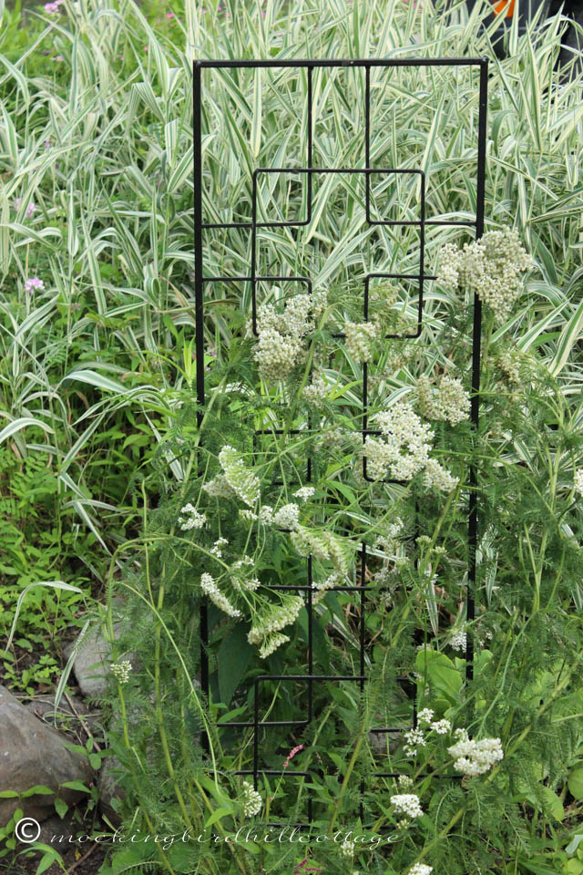 7-9 yarrow on trellis