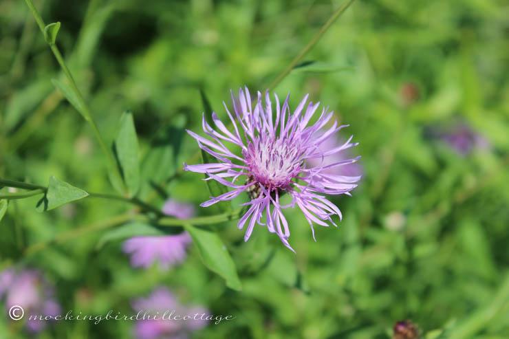 8-16 wildflower