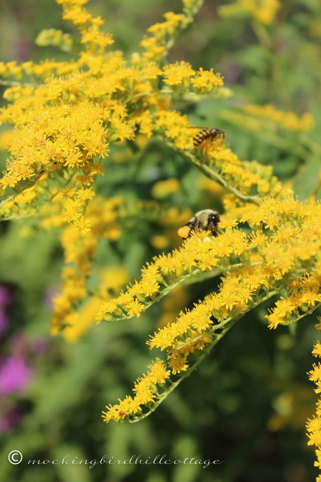 8-17 goldenrod bees