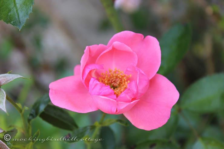8-18 rose