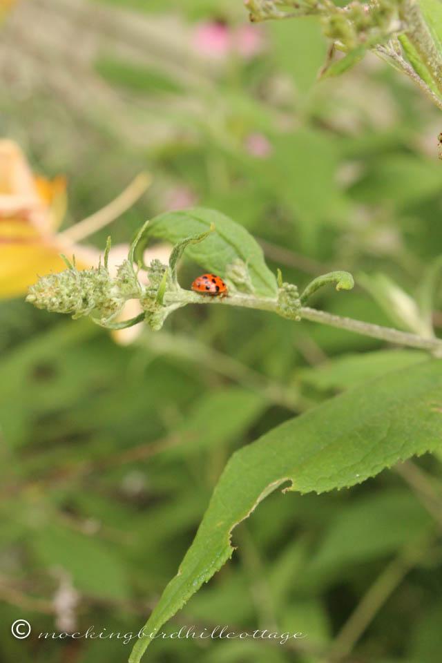 8-5 ladybug1