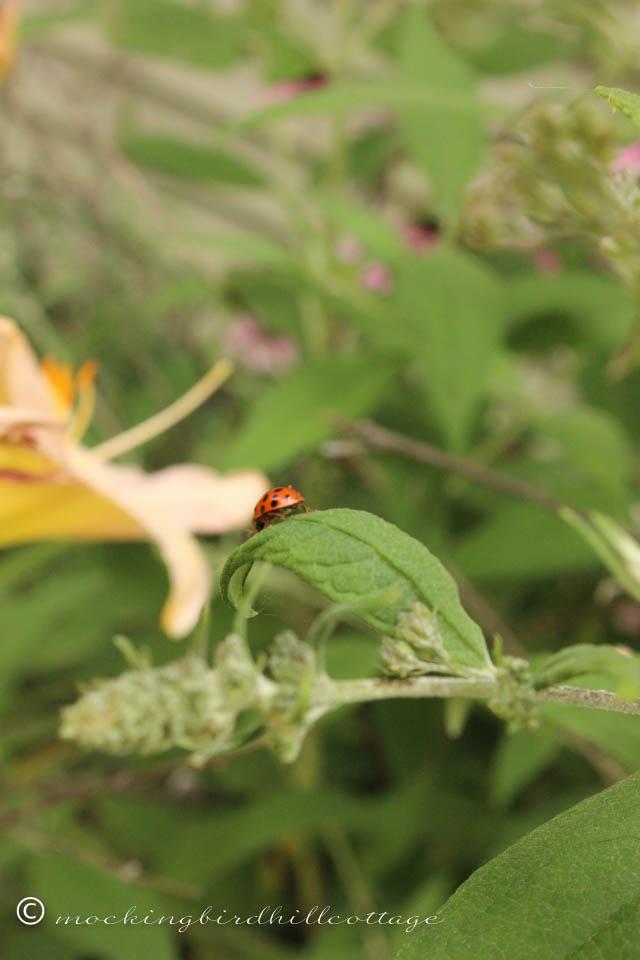 8-5 ladybug2