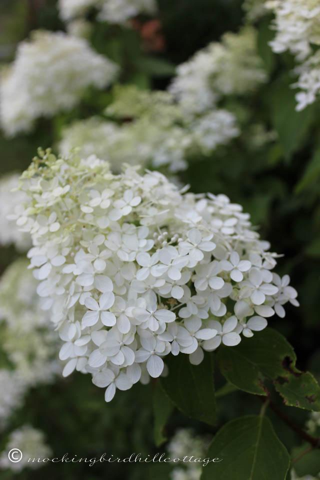 8-9 limelight hydrangea 1