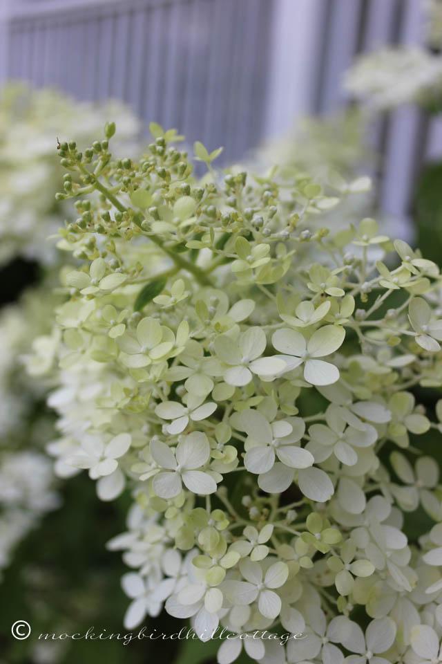 8-9 limelight hydrangea 2