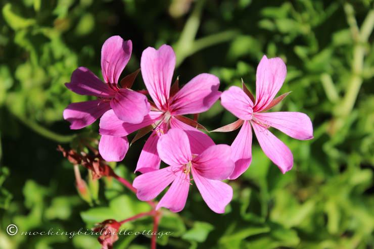 9-2 geranium