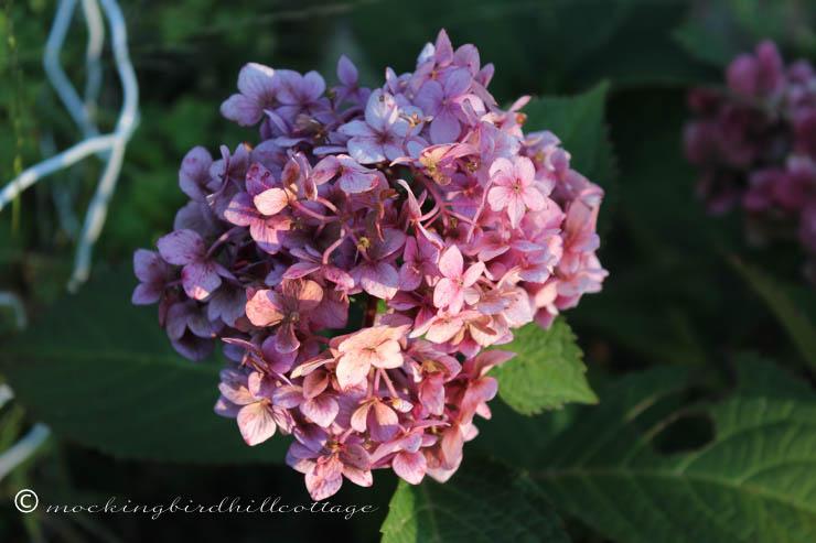 9-21 late summer hydrangea
