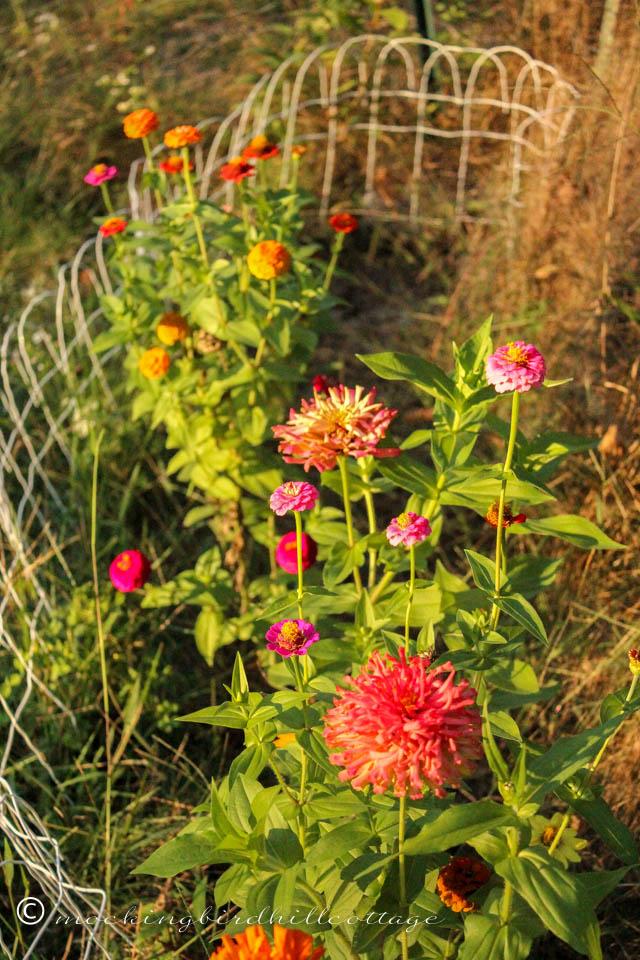 9-21 late summer zinnias