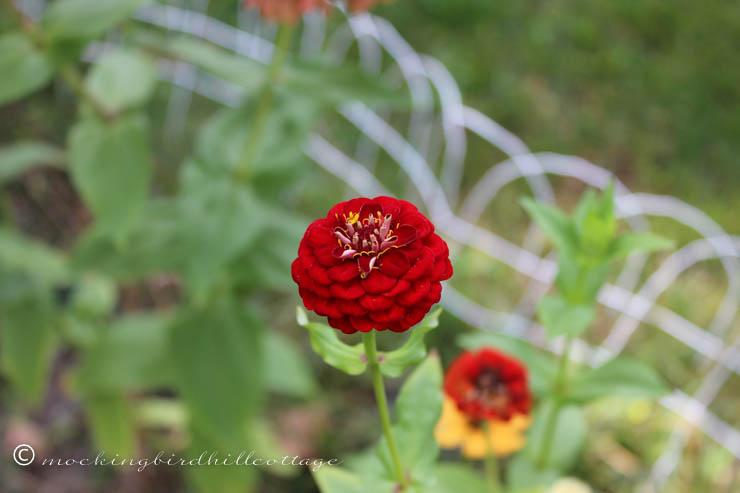 9-27 red zinnia
