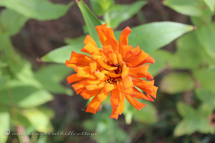 9-29 orange zinnia
