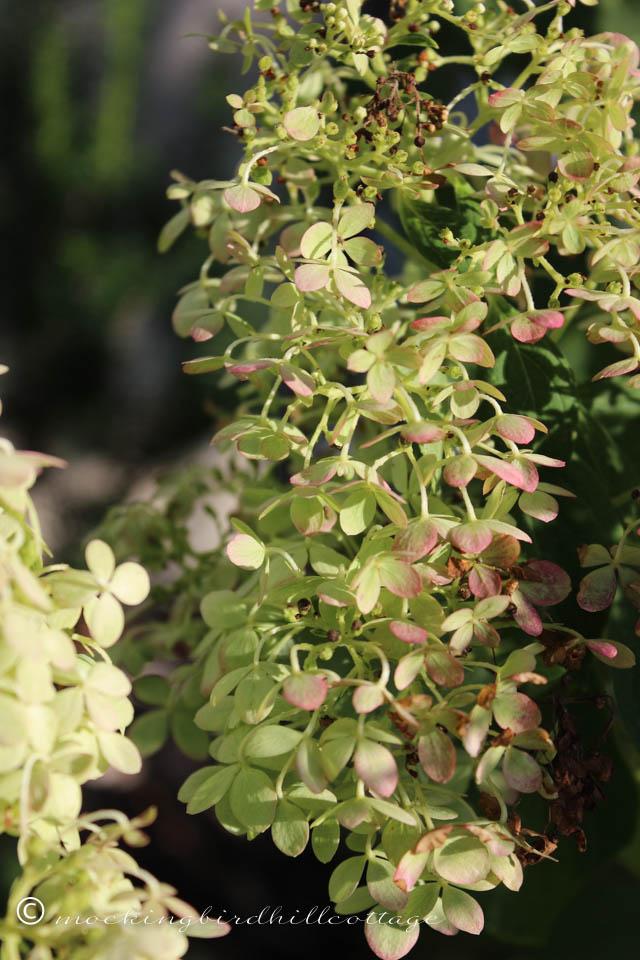 9-7 limelighthydrangea