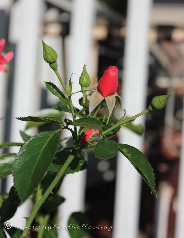 9-9 roses