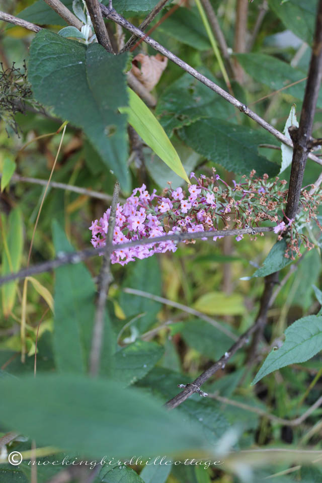 10-10 butterfly bush
