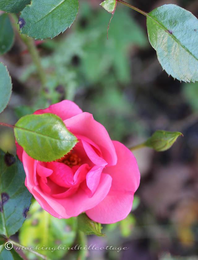 10-10 rose