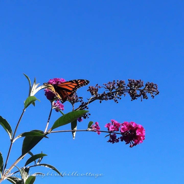 10-11 monarch 2