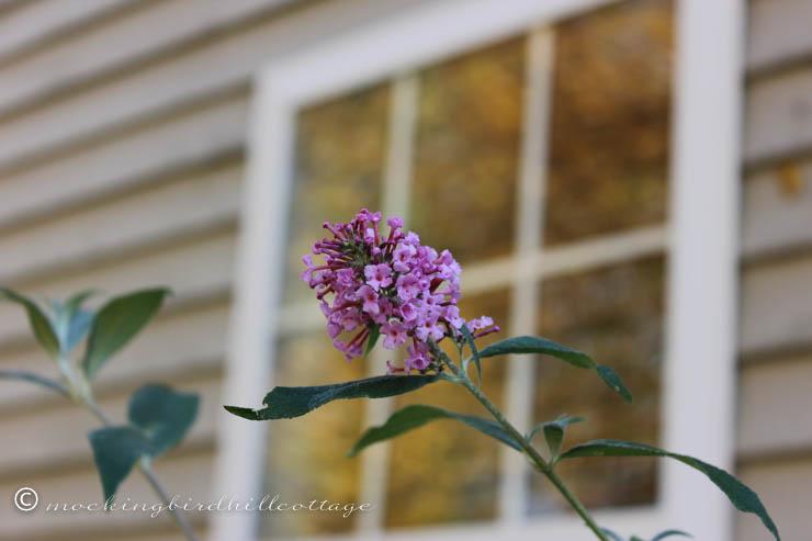 10-16 butterfly bush