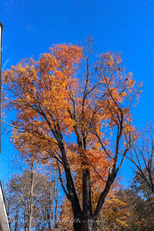 10-25 silver maple