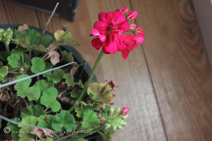 11-28 geranium