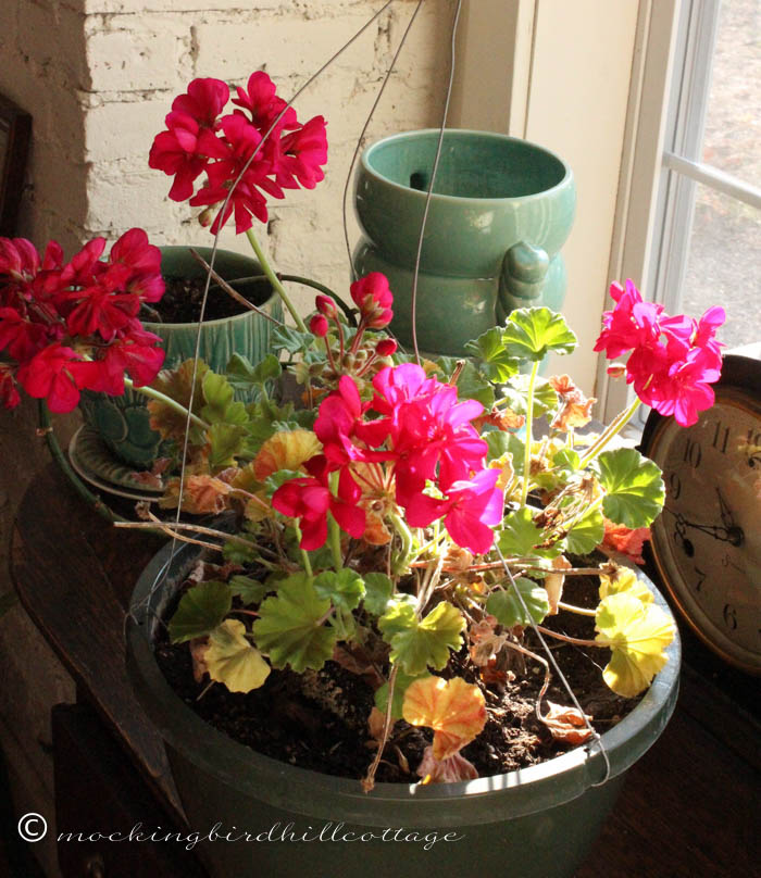 12-11 geranium