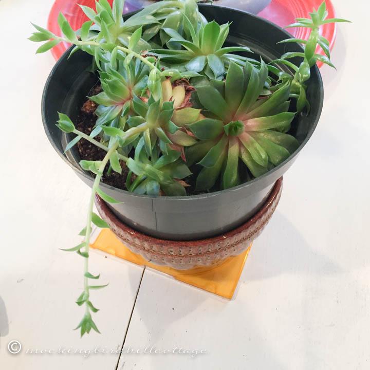 2-24 succulentgrowth