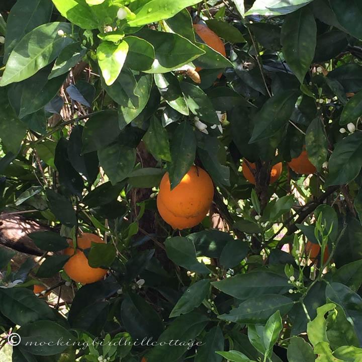 3-20 orangetrees