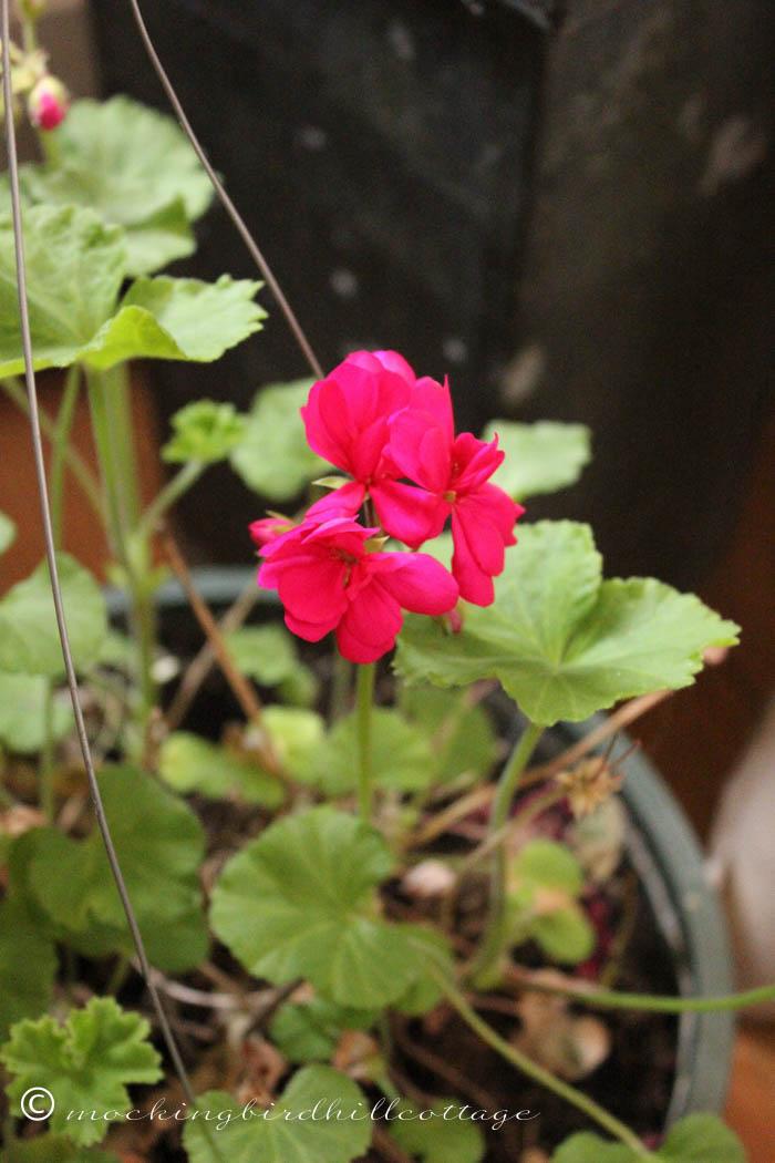 3-21 geranium