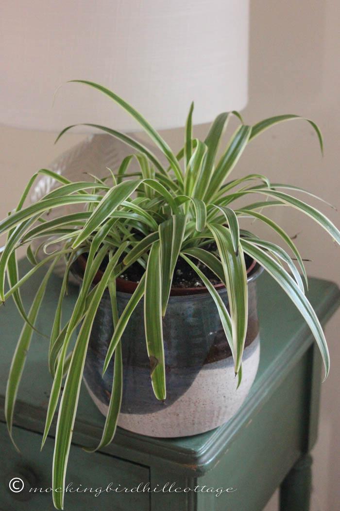 3-21 spiderplant