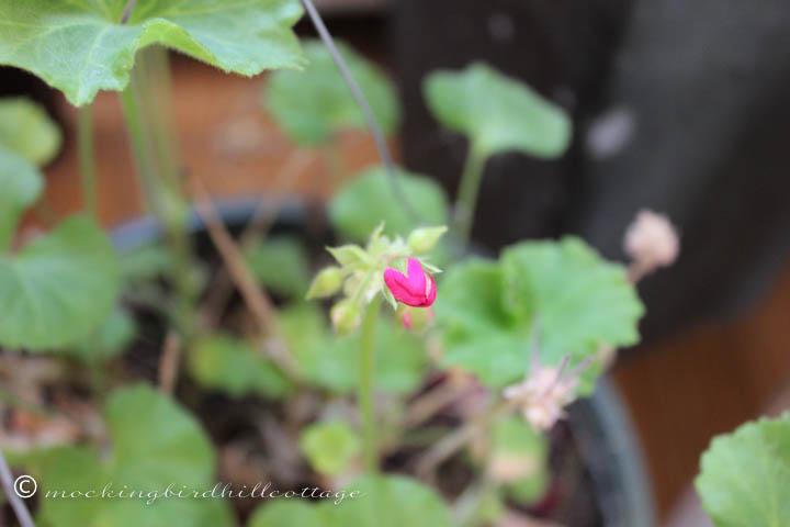 3-8 geranium
