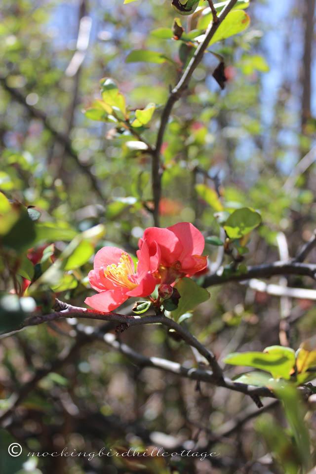 4-19 floweringquince1