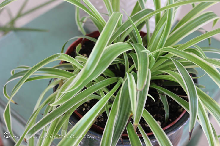 4-21 spiderplant
