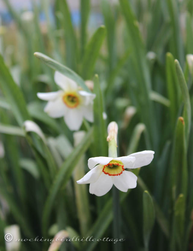 4-30 daffodils2