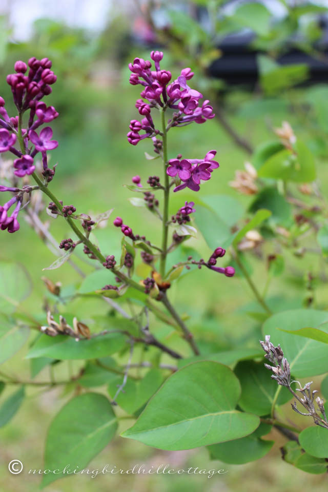 5-1 lilacs1