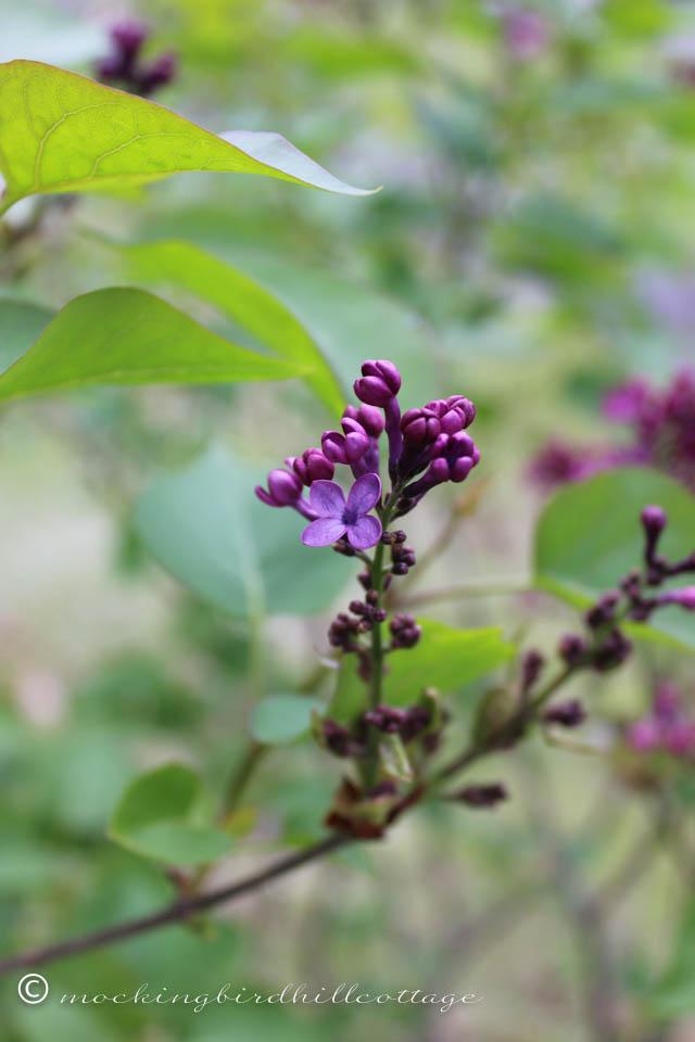 5-1 lilacs2