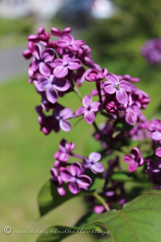 5-10 lilacs1