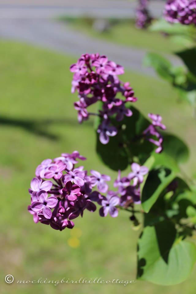 5-10 lilacs2